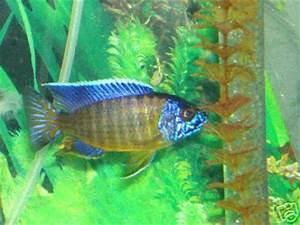 cichlids This is my sons Blue neon undu reef he