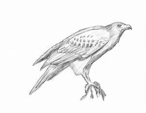 How to Draw a Hawk (Harris Hawk)
