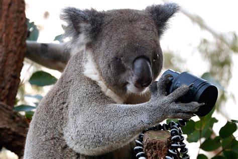 Hot Shots Photos Of The Day Koala Selfie, Royal Dolls, Sahara Dust