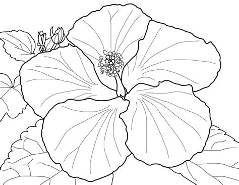beautiful red hibiscus flower colouring pages picolour