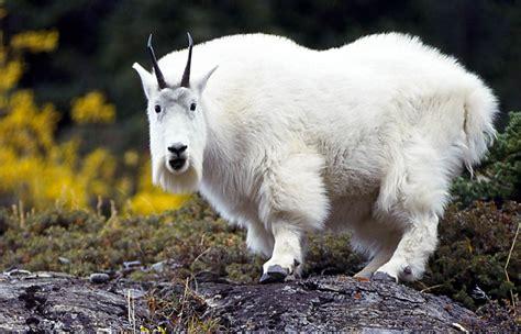 goat wallpaper  background animals town