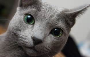 russian blue cat personality russian blue purrfect cat breeds