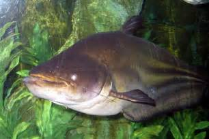 Mekong Giant Catfish Facts