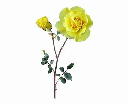 Stem Rose Clipart Holding Hand Flower Yellow