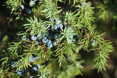 Plant monograph juniper, Juniperus communis, healing ...