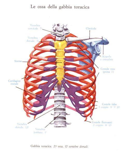 Anatomia Gabbia Toracica - anatomia
