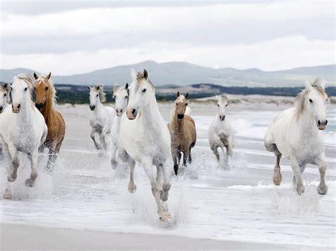 beautiful white horse running beach wallpaper hd