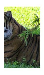 Safari Mike: Sumatran Tiger