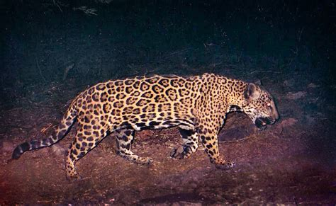 Nmsu Scientists Discover Stealthy Jaguars In Northern