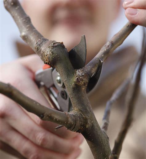 apfelbaum schneiden wassertriebe apfelbaum schneiden wassertriebe apfelbaum schneiden wann apfelbaum schneiden apfelbaum herbst
