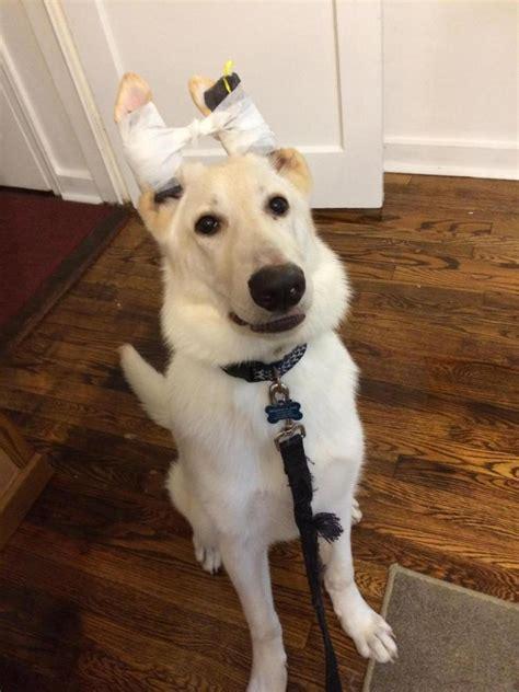 taped ears   week   worse german shepherd