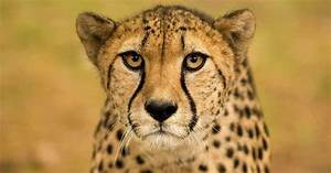 Cheetahs In Captivity Need A Better Diet