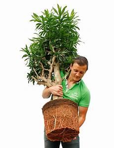 Zimmerpflanze Lange Grüne Blätter : gro e zimmerpflanzen kaufen 123zimmerpflanzen ~ Markanthonyermac.com Haus und Dekorationen