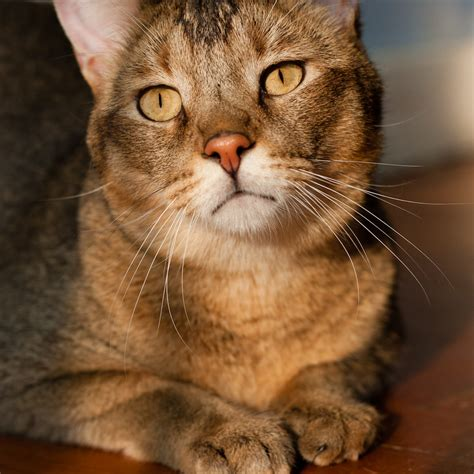 chausie information health pictures training pet paw