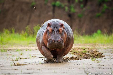 hippo burrard lucas photography
