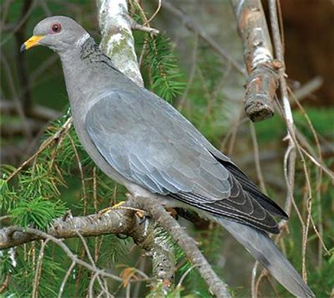 grey dove with black ring around neck ornithology western birds integrative biology 104 with rauri at of california