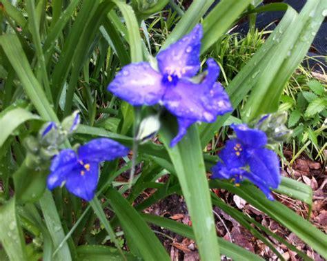 weeds with purple flowers beautiful indigo purple flower or weed flowers forums