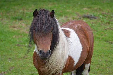 shetty pony drei pferde horses pferde ponys und tiere