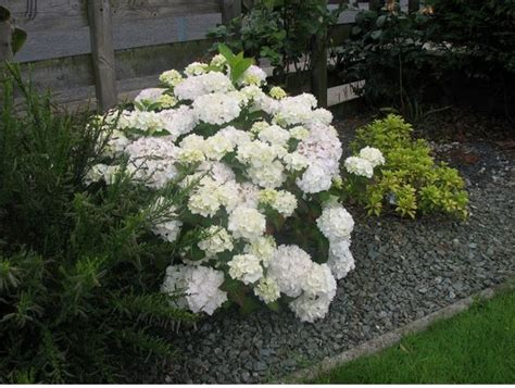 white garden flowers white hydrangea flowers for your garden jpg
