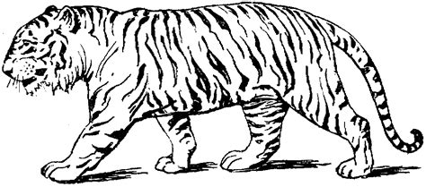 Tiger Coloring Pages Detroit Tigers