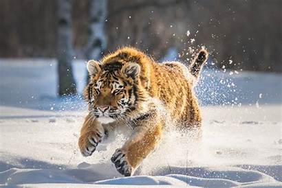 Tiger Cub Running Animals Wallpapers Snow Animal