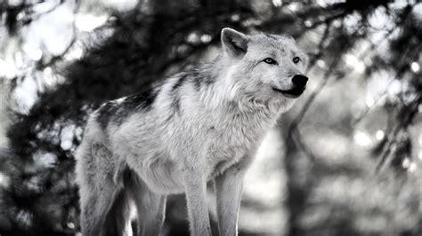 Snow Wolves Animal Wallpaper