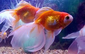 Avenger Blog  Goldfish Pictures