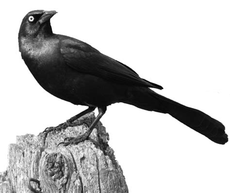 grackle products by bird