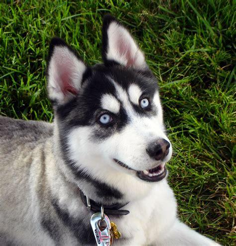 Archivo Ee  Siberian Ee    Ee  Husky Ee   Blue Eyes Flickr Jpg La Enciclopedia Libre