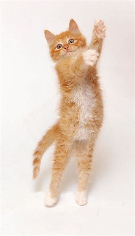 bestthe amazing dancing cat images  pinterest