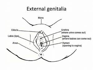 Female External Genitalia  U0026 Penis