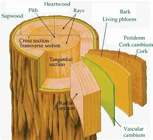 The Three Dimensional Section Of A Tree Trunk