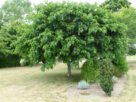 morus kagayamae m 251 rier 224 feuilles de platane p 233 pini 232 re en ligne de kerzarc h