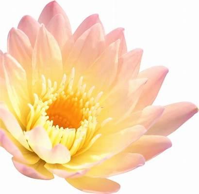 Lotus Clipart Spa Beauty Flower Transparent Web