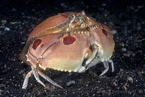 Diverosa  True Crabs
