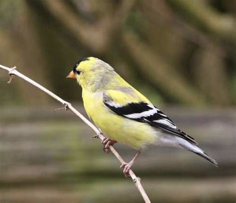 goldfinch yellow finch wild canary pictures never die