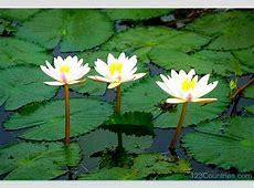 National Flower Bangladesh Shapla 123Countriescom