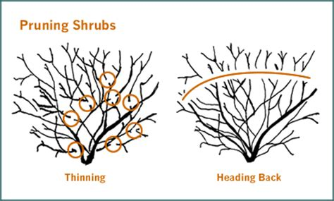 how to trim bushes in the pruning and trimming