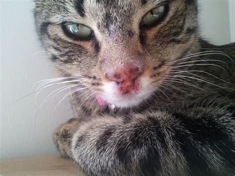 Cheeka Is Tabby Cat About 13 Months Old We Got Cheeka