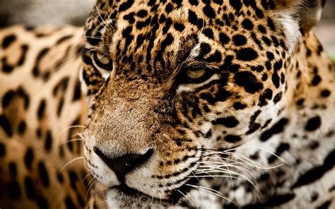Jaguar Animal Hd Wallpapers 1080p - hd jaguar cat muzzle 1080p wallpaper free
