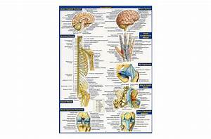 Anatomy - Quick Study Reference Guide