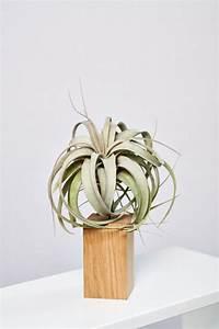 Tillandsien Im Glas : die xerographica stammt aus sehr trockenen und hei en gebieten guatemalas und berzeugt durch ~ Eleganceandgraceweddings.com Haus und Dekorationen
