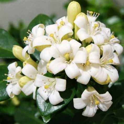 menanam merawat bunga kemuning tanaman hias
