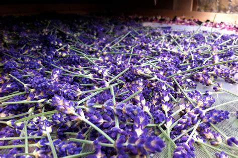 Und Lavendel by Lavendel Trocknen Anleitung Tipps Plantura