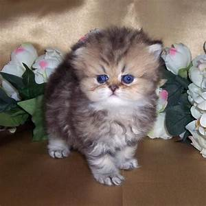 Miniature Cats | Silver 'N Gold Glamour Cats - Golden ...