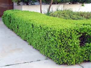 Winter Gem Boxwood Hedge