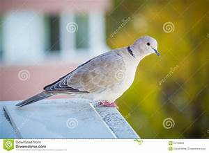 A Light Gray Pigeon With Colored Background Stock Photo