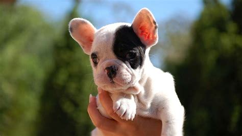french bulldog information characteristics facts names