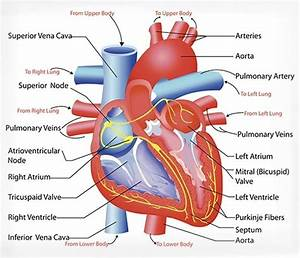 The Heart And Circulatory  Cardiovascular  System In