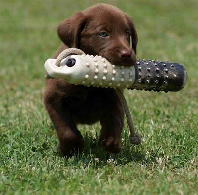 Puppy Training Dog Tips Pup Puppies Lab